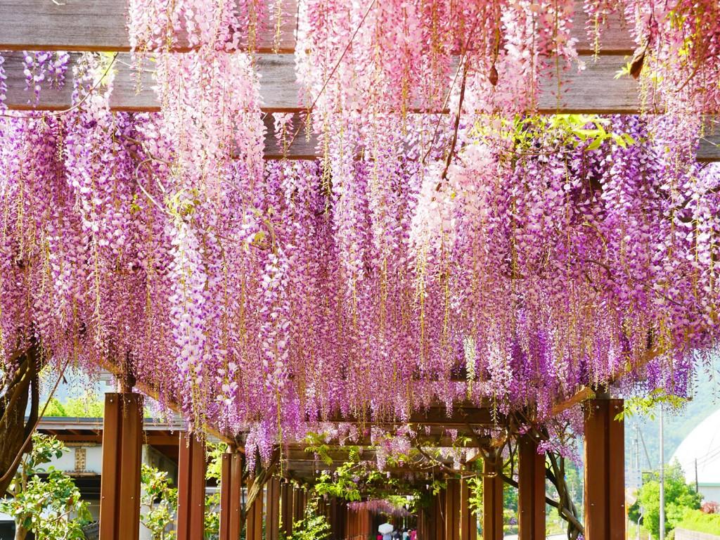白山ろくテーマパーク吉岡園地の藤の花